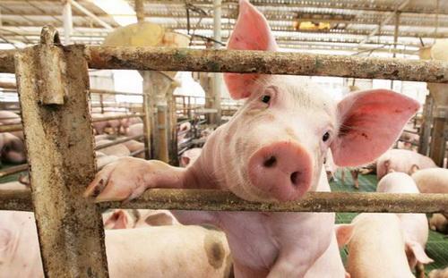 как выбрать свежее мясо свинины